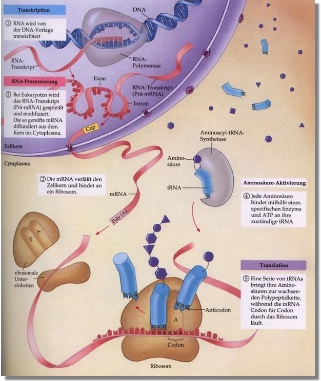 Ein-Gen-Ein-Enzym Hypothese